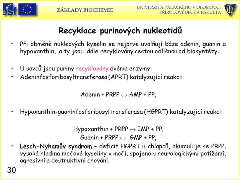 Recyklace purinových nukleotidů Při obměně nukleových kyselin se nejprve uvolňují báze adenin, guanin a hypoxanthin, a ty jsou dále recyklovány cestou
