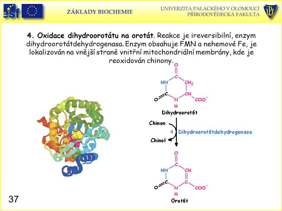 4. Oxidace dihydroorotátu na orotát. Reakce je ireversibilní, enzym dihydroorotátdehydrogenasa. Enzym obsahuje FMN a nehemové Fe, je lokalizován na vn