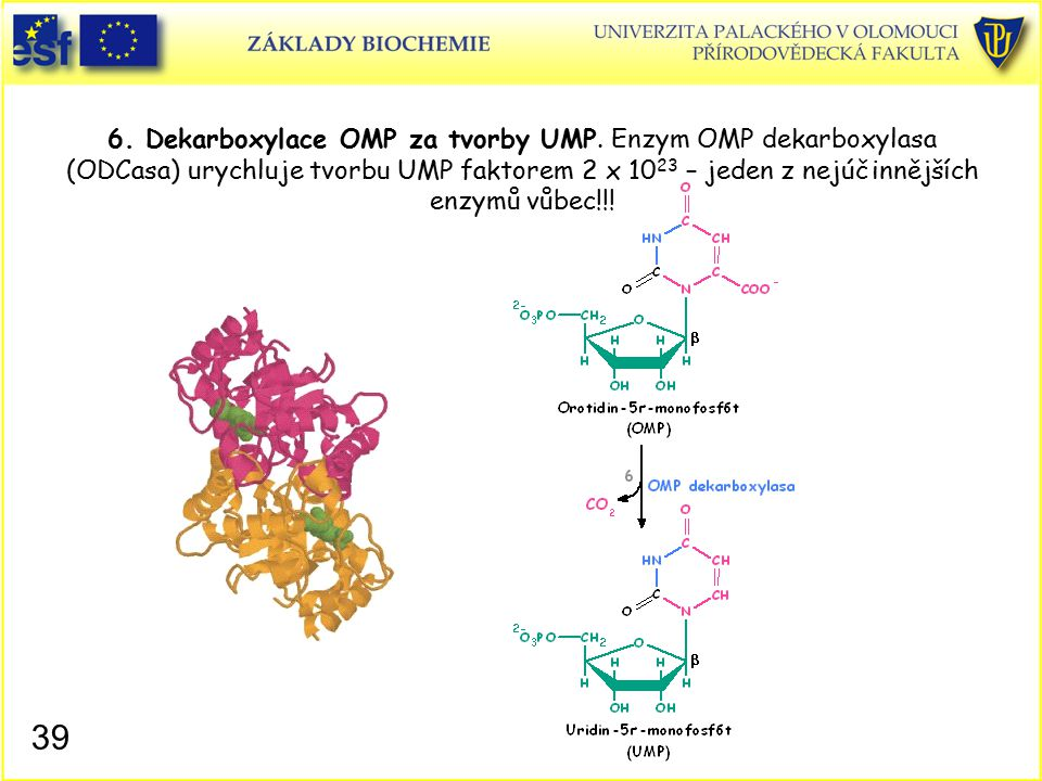 6. Dekarboxylace OMP za tvorby UMP. Enzym OMP dekarboxylasa (ODCasa) urychluje tvorbu UMP faktorem 2 x 10 23 – jeden z nejúčinnějších enzymů vůbec!!!