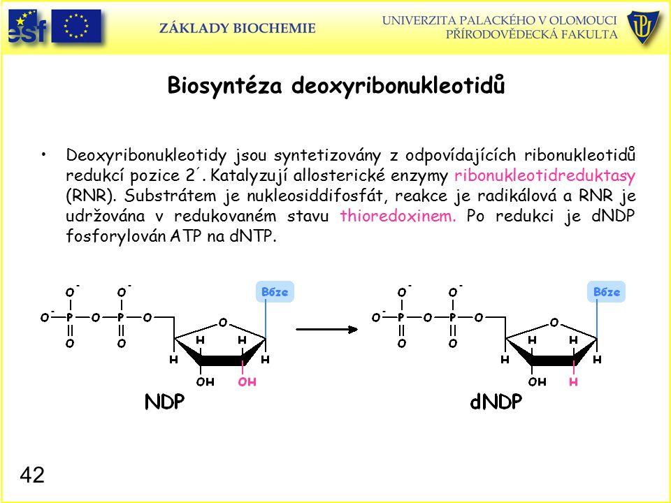 Biosyntéza deoxyribonukleotidů Deoxyribonukleotidy jsou syntetizovány z odpovídajících ribonukleotidů redukcí pozice 2 ´. Katalyzují allosterické enzy