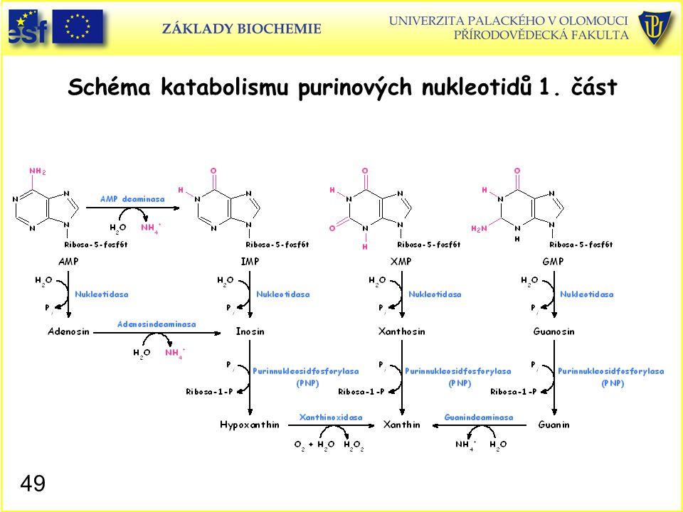 Schéma katabolismu purinových nukleotidů 1. část 49