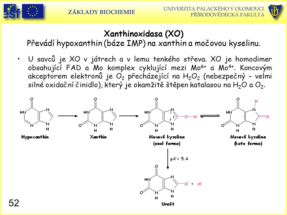 Xanthinoxidasa (XO) Převádí hypoxanthin (báze IMP) na xanthin a močovou kyselinu. U savců je XO v játrech a v lemu tenkého střeva. XO je homodimer obs