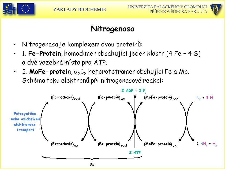 Nitrogenasa Nitrogenasa je komplexem dvou proteinů: 1. Fe-Protein, homodimer obsahující jeden klastr [4 Fe – 4 S] a dvě vazebná místa pro ATP. 2. MoFe