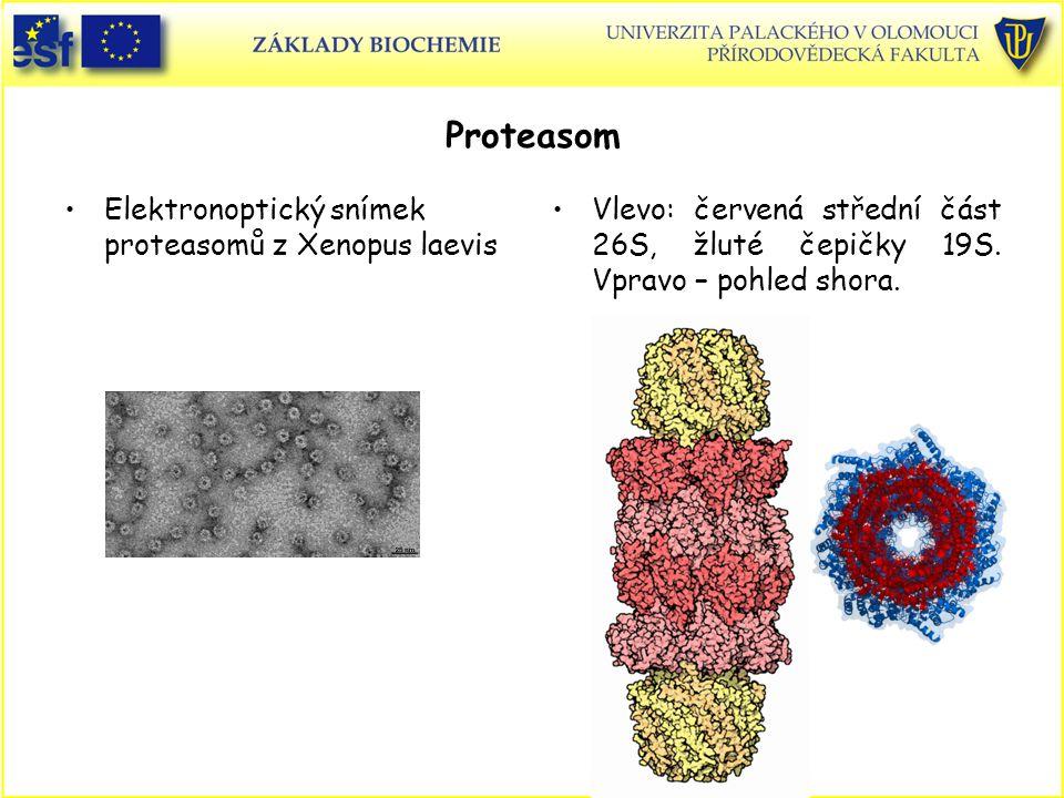 Proteasom Elektronoptický snímek proteasomů z Xenopus laevis Vlevo: červená střední část 26S, žluté čepičky 19S. Vpravo – pohled shora.