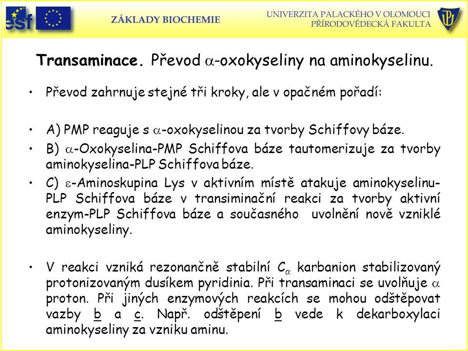 Transaminace. Převod  -oxokyseliny na aminokyselinu. Převod zahrnuje stejné tři kroky, ale v opačném pořadí: A) PMP reaguje s  -oxokyselinou za tvor