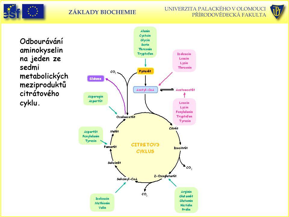 Odbourávání aminokyselin na jeden ze sedmi metabolických meziproduktů citrátového cyklu.