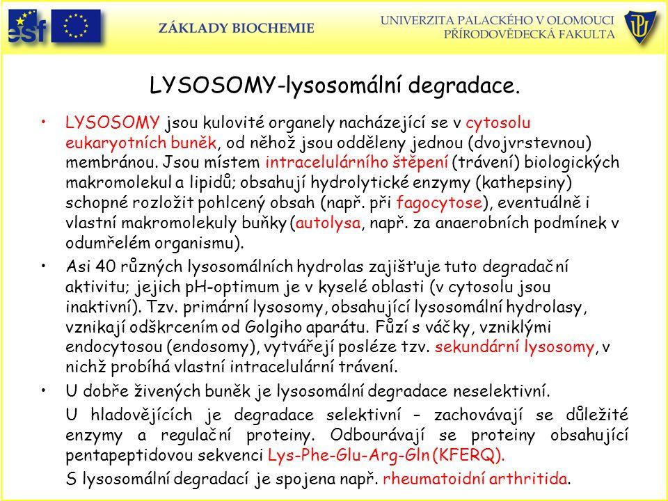 LYSOSOMY-lysosomální degradace. LYSOSOMY jsou kulovité organely nacházející se v cytosolu eukaryotních buněk, od něhož jsou odděleny jednou (dvojvrste