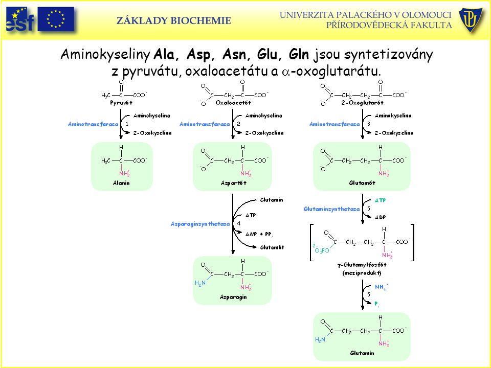 Aminokyseliny Ala, Asp, Asn, Glu, Gln jsou syntetizovány z pyruvátu, oxaloacetátu a  -oxoglutarátu.