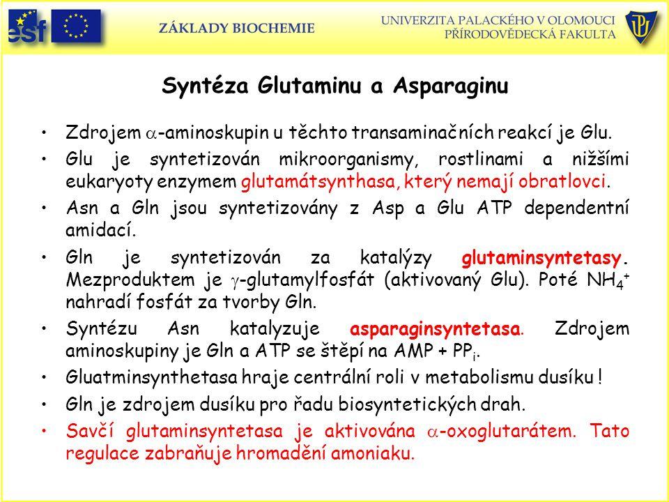 Syntéza Glutaminu a Asparaginu Zdrojem  -aminoskupin u těchto transaminačních reakcí je Glu. Glu je syntetizován mikroorganismy, rostlinami a nižšími