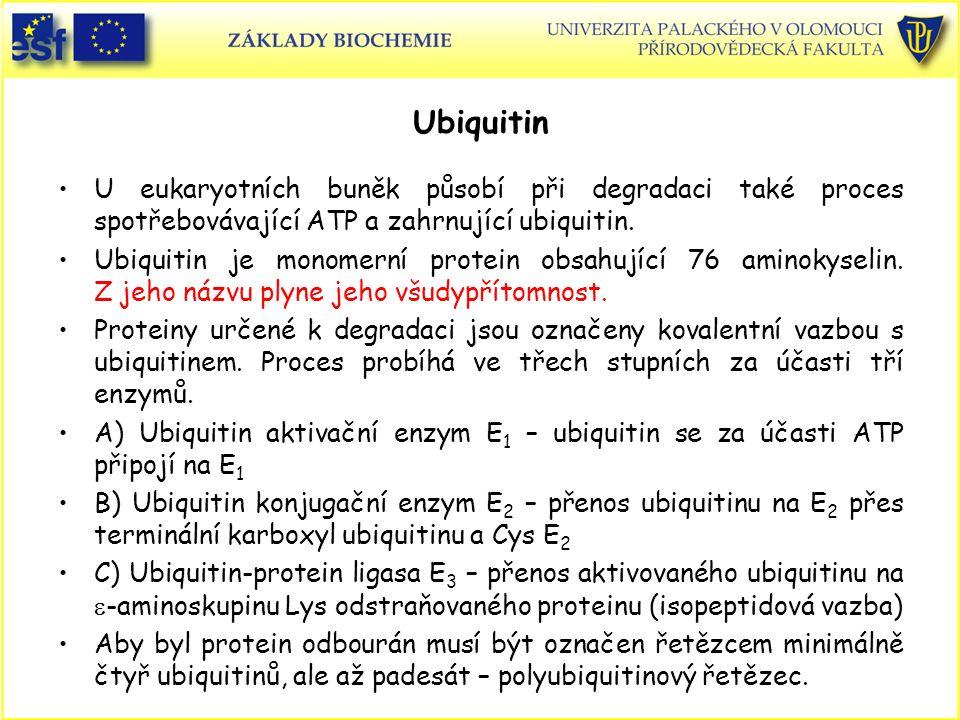 Ubiquitin U eukaryotních buněk působí při degradaci také proces spotřebovávající ATP a zahrnující ubiquitin. Ubiquitin je monomerní protein obsahující
