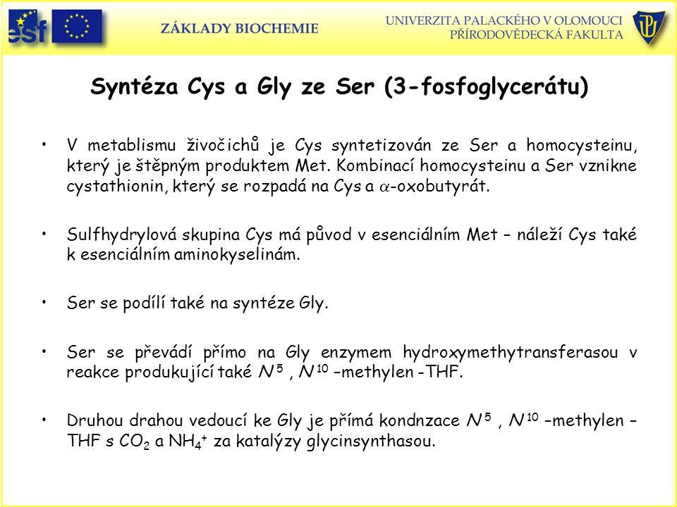 Syntéza Cys a Gly ze Ser (3-fosfoglycerátu) V metablismu živočichů je Cys syntetizován ze Ser a homocysteinu, který je štěpným produktem Met. Kombinac