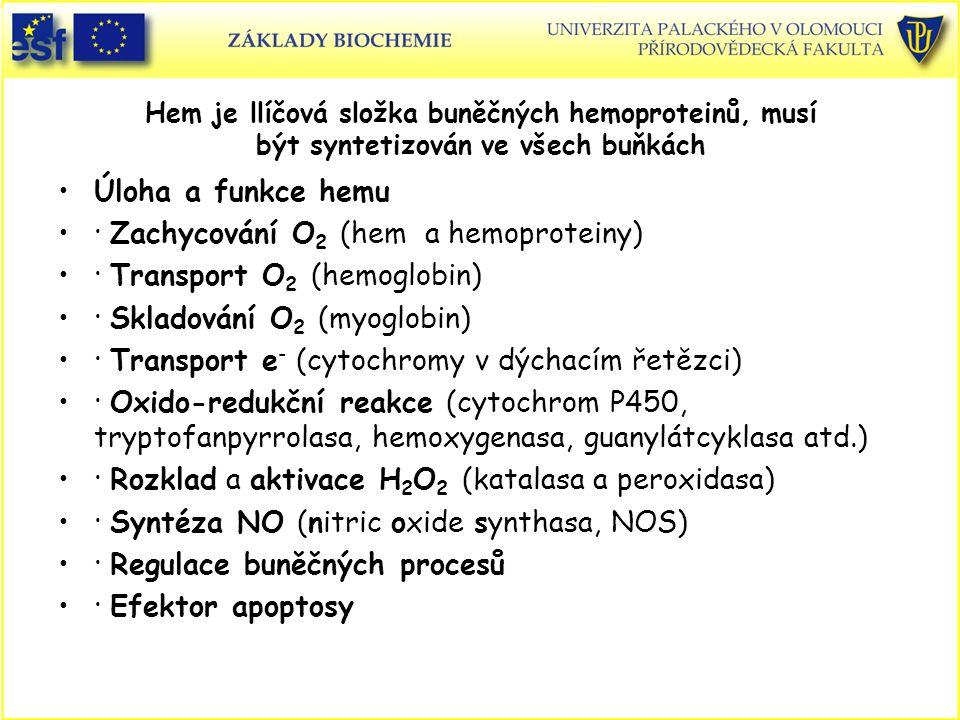 Hem je llíčová složka buněčných hemoproteinů, musí být syntetizován ve všech buňkách Úloha a funkce hemu · Zachycování O 2 (hem a hemoproteiny) · Tran