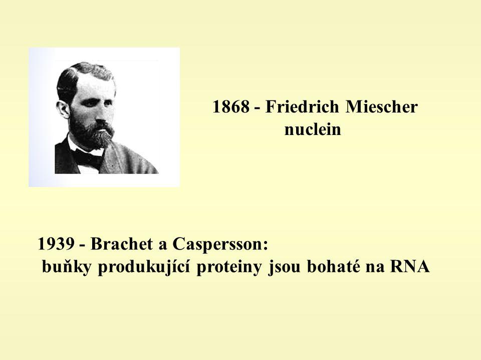 1939 - Brachet a Caspersson: buňky produkující proteiny jsou bohaté na RNA 1868 - Friedrich Miescher nuclein