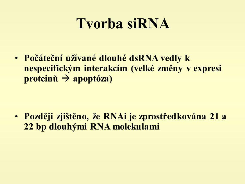 Tvorba siRNA Počáteční užívané dlouhé dsRNA vedly k nespecifickým interakcím (velké změny v expresi proteinů  apoptóza) Později zjištěno, že RNAi je zprostředkována 21 a 22 bp dlouhými RNA molekulami