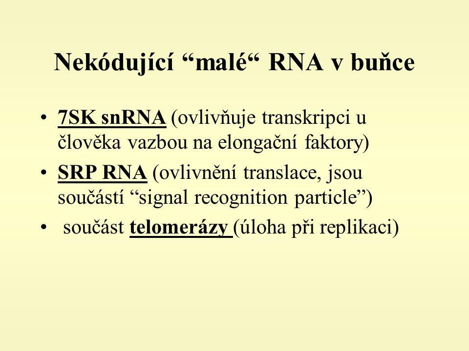 Nekódující malé RNA v buňce 7SK snRNA (ovlivňuje transkripci u člověka vazbou na elongační faktory) SRP RNA (ovlivnění translace, jsou součástí signal recognition particle ) součást telomerázy (úloha při replikaci)