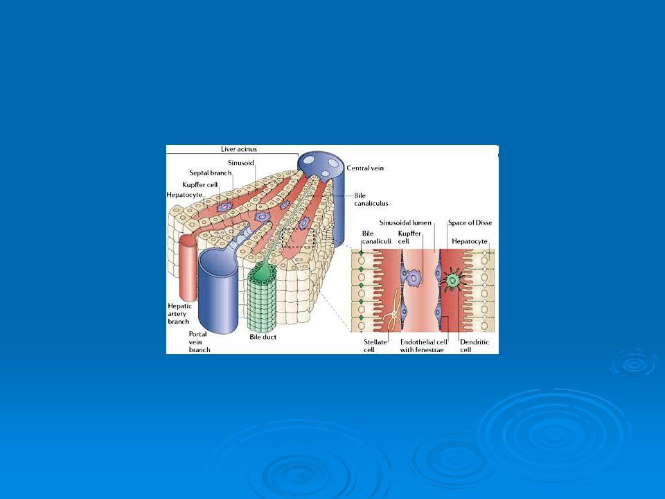  základní morfologickou jednotkou jater je lalůček  šestibokého hranolu tvořeného hvězdicovitými trámci jaterních buněk uspořádaných kolem centrální žíly protékající středem lalůčku hranolu  prostorech mezi trámci probíhají jaterní sinusoidy - zvláštní typ krevních kapilár sinusoidykrevních kapilár sinusoidykrevních kapilár