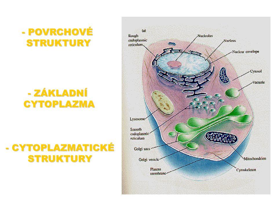 Základní cytoplazma - CYTOPLAZMA - kapalina, která vyplňuje vnitřek buňky - poměrně hustá, obsahuje řadu rozpuštěných látek, bílkoviny apod.