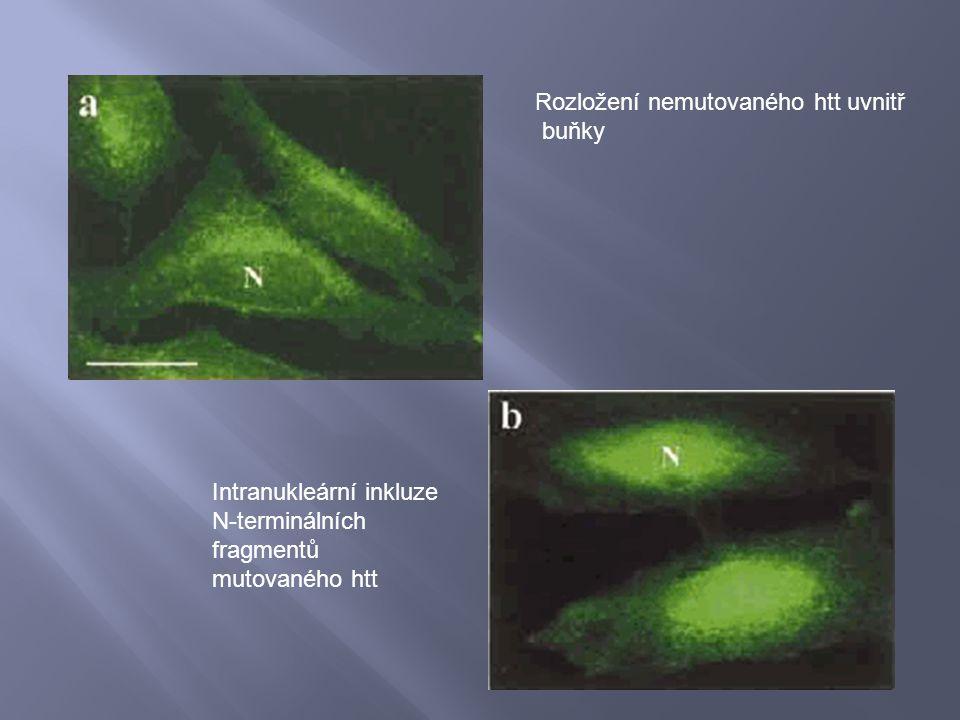Rozložení nemutovaného htt uvnitř buňky Intranukleární inkluze N-terminálních fragmentů mutovaného htt