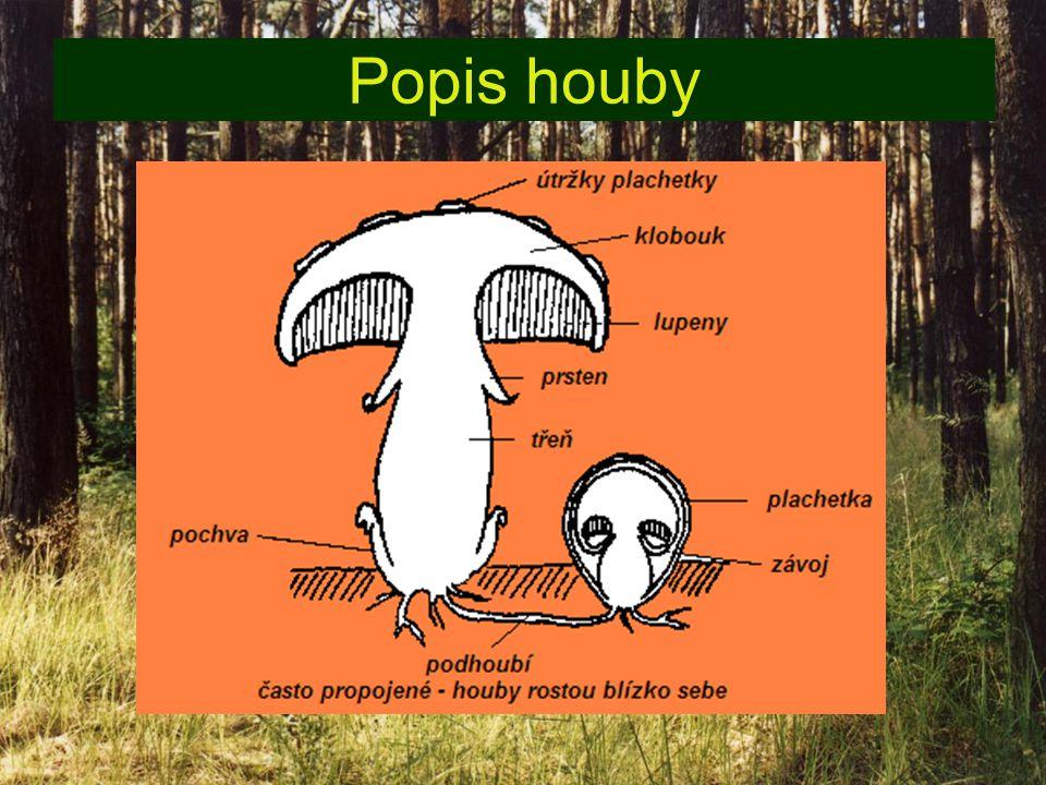 Stavba těla hub Jejich tělo je tvořeno z podhoubí, ze kterého vyrůstá plodnice houby.Plodnice mívá nejčastěji klobouk a třeň (noha houby)podhoubíplodnice houby Rozmnožují se výtrusy.výtrusy Můžou mít i kalich,pochvu a prsten.