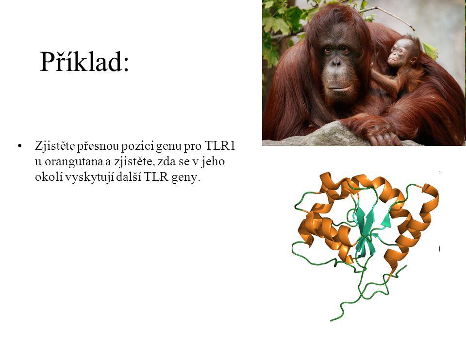 Příklad: Zjistěte přesnou pozici genu pro TLR1 u orangutana a zjistěte, zda se v jeho okolí vyskytují další TLR geny.