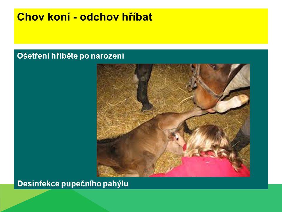 Chov koní - odchov hříbat Ošetření hříběte po narození Desinfekce pupečního pahýlu