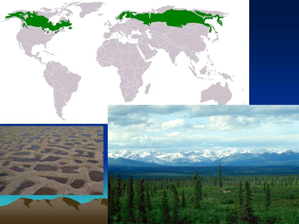 Tajga Subpolární klimatický pás Zimy velice chladné, ale v létě oproti tundře již tepleji Převažuje permafrost Jehličnaté stromy – smrk, modřín Fauna – vlk, rys, medvěd hnědý, ptáci