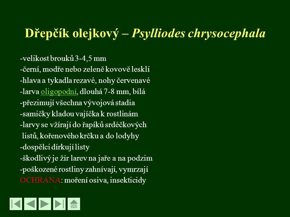 Dřepčík olejkový – Psylliodes chrysocephala -velikost brouků 3-4,5 mm -černí, modře nebo zeleně kovově lesklí -hlava a tykadla rezavé, nohy červenavé