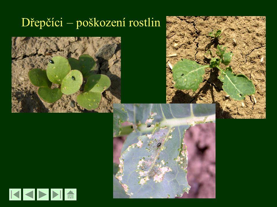 Krytonosec zelný - Ceutorhynchus pleurostigma řád Brouci – Coleoptera, čeleď Nosatcovití - Curculionidae -velký 2,5-3 mm -dospělec šedočerný - larva bělavá, apodní eucephalní - velká 4-5 mm - má 1 generaci, dva kmeny - jarní a podzimní Bionomie jarního kmene: - brouci se objevují od IV, vykusují otvory do listů - rostliny mohou vyslepnout, krnějí, kedlubny praskají - vajíčka kladou do jamky v kořenovém krčku - na kořenech vznikají hálky, uvnitř jsou larvy .