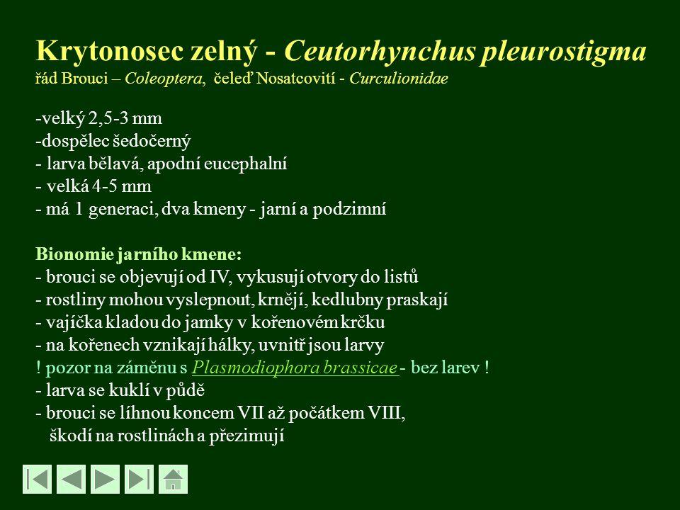 Krytonosec zelný - Ceutorhynchus pleurostigma řád Brouci – Coleoptera, čeleď Nosatcovití - Curculionidae -velký 2,5-3 mm -dospělec šedočerný - larva b