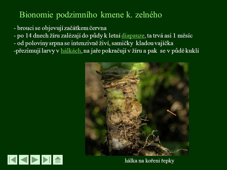 Bionomie podzimního kmene k. zelného - brouci se objevují začátkem června - po 14 dnech žíru zalézají do půdy k letní diapauze, ta trvá asi 1 měsícdia