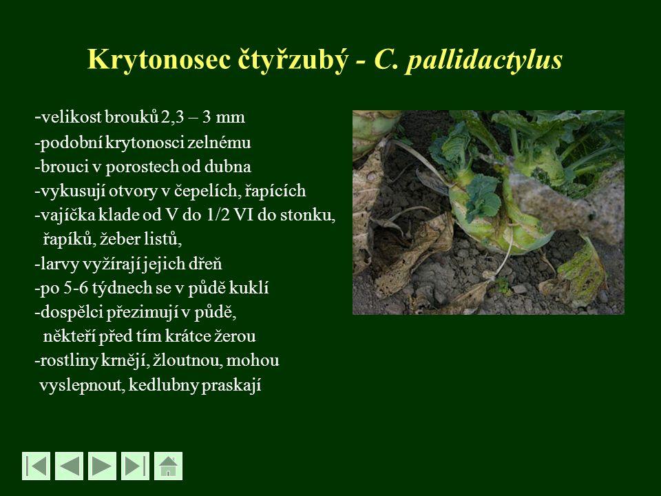 Krytonosec čtyřzubý - C. pallidactylus - velikost brouků 2,3 – 3 mm -podobní krytonosci zelnému -brouci v porostech od dubna -vykusují otvory v čepelí