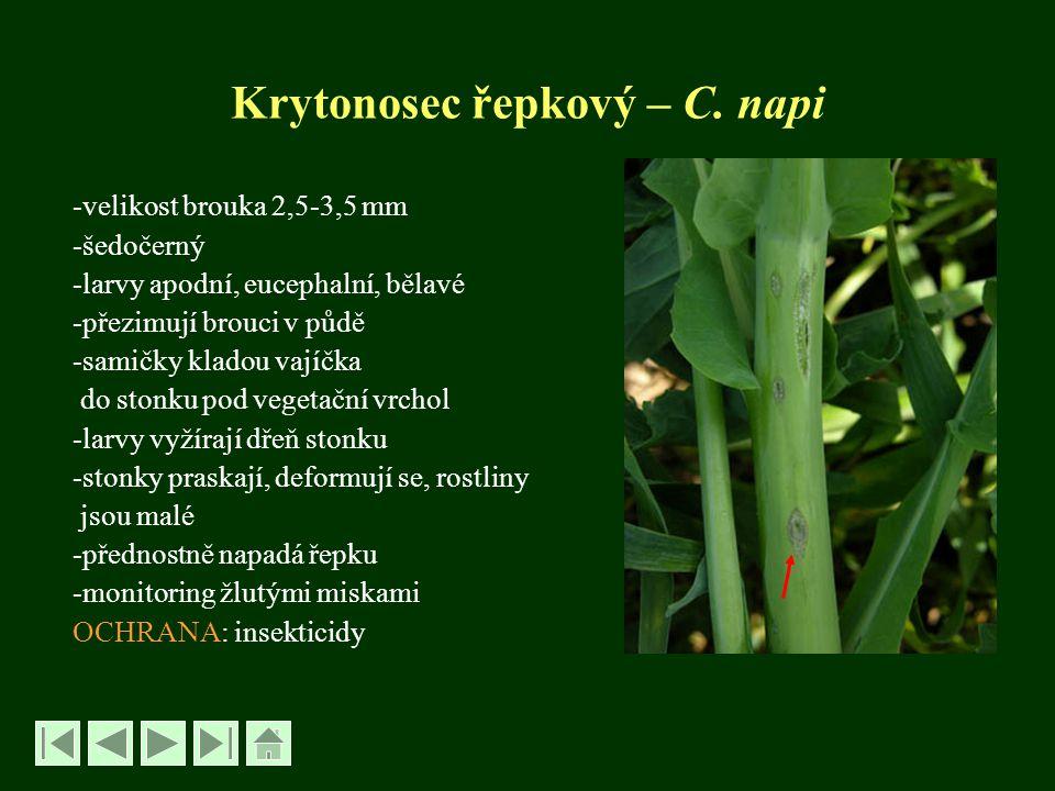 Krytonosec řepkový – C. napi -velikost brouka 2,5-3,5 mm -šedočerný -larvy apodní, eucephalní, bělavé -přezimují brouci v půdě -samičky kladou vajíčka