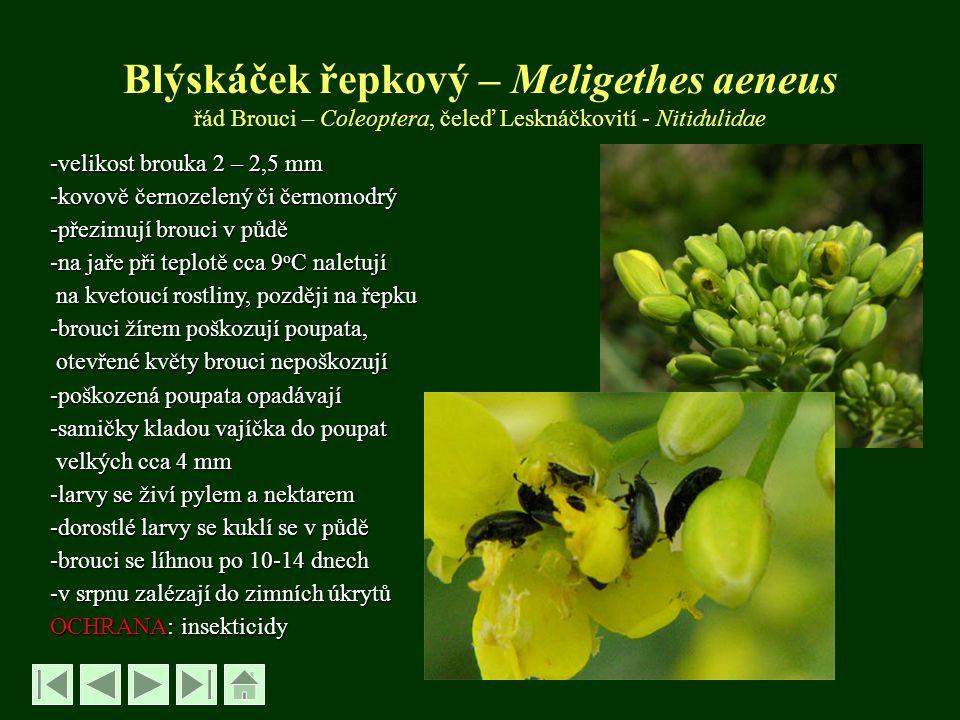 Blýskáček řepkový – Meligethes aeneus řád Brouci – Coleoptera, čeleď Lesknáčkovití - Nitidulidae -velikost brouka 2 – 2,5 mm -kovově černozelený či če