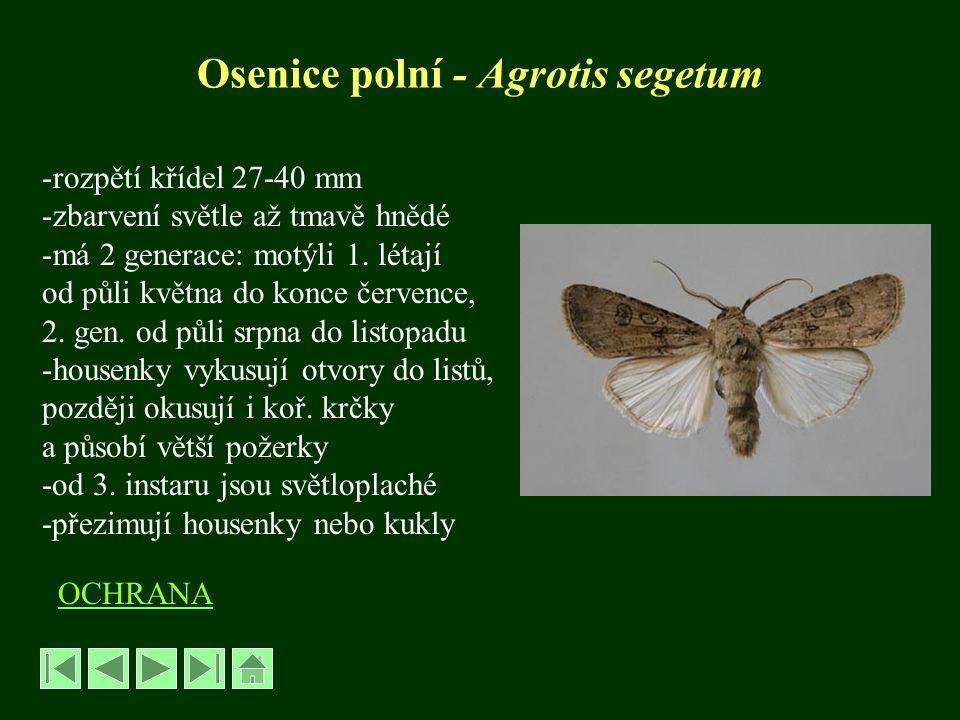 Bejlomorka kapustová – Dasyneura brassicae řád Dvoukřídlí – Diptera, čeleď Bejlomorkovití - Cecidomyiidae -velikost 1,5 –2 mm -zadeček oranžový až červenavý -dospělci létají od května -vajíčka kladou do mladých šešulí -larva apodní, bílá až žlutobílá -živí se na vnitřní straně, šešule zduřují, deformují se, předčasně se otvírají -škodí zejména 1.