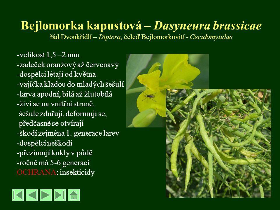 Bejlomorka kapustová – Dasyneura brassicae řád Dvoukřídlí – Diptera, čeleď Bejlomorkovití - Cecidomyiidae -velikost 1,5 –2 mm -zadeček oranžový až čer