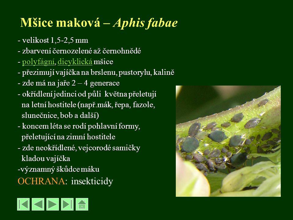 Mšice maková – Aphis fabae - velikost 1,5-2,5 mm - zbarvení černozelené až černohnědé - polyfágní, dicyklická mšice polyfágnídicyklickápolyfágnídicykl