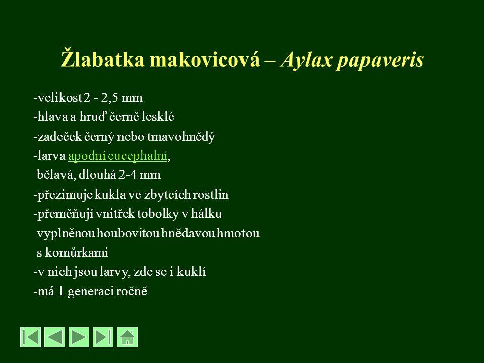 Žlabatka makovicová – Aylax papaveris -velikost 2 - 2,5 mm -hlava a hruď černě lesklé -zadeček černý nebo tmavohnědý -larva apodní eucephalní,apodní e