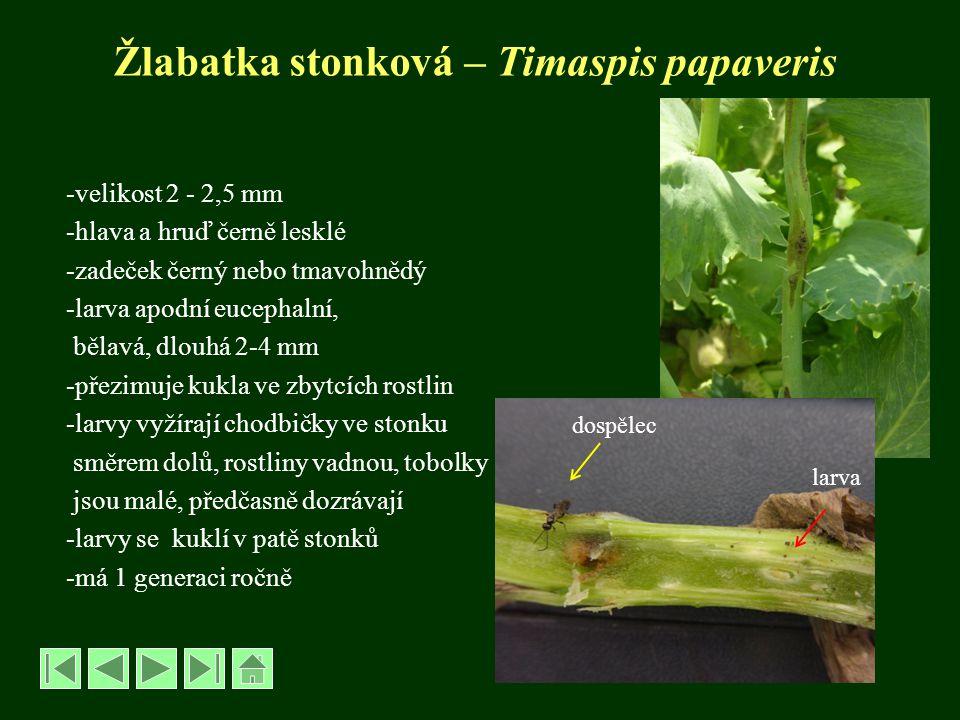 Bejlomorka maková – Dasyneura papaveris řád Dvoukřídlí – Diptera, čeleď Bejlomorkovití - Cecidomyiidae -dospělec velký 1,-1,8 mm, podobný komárku -hnědočerný -larvy oranžové, dlouhé 1,5 mm -samičky kladou vajíčka do otvorů vykousaných krytonoscem makovicovýmkrytonoscem makovicovým -často se objevují spolu s jeho larvou -larvy sají na vnitřní stěně makovic -makovice se vyvíjejí nepravidelně -výnos je malý, semena nekvalitní OCHRANA: samostatně se neprovádí, zásahy jako proti k.