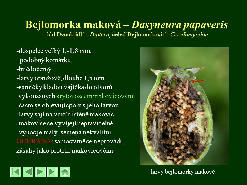 Bejlomorka maková – Dasyneura papaveris řád Dvoukřídlí – Diptera, čeleď Bejlomorkovití - Cecidomyiidae -dospělec velký 1,-1,8 mm, podobný komárku -hně