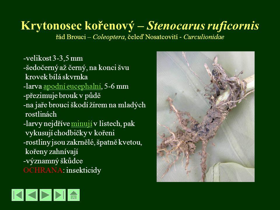 Krytonosec makovicový – Neoglycianus maculaalba -velikost brouka 3,5-4 mm -černý, bělošedě chlupatý, na švu krovek za štítkem výrazná bílá skvrna -dospělci od V na divoce rostoucích mácích -v době tvorby poupat migrují na mák setý -kladou vajíčka do jamek v tobolkách -larvy apodní eucephalní, 6-7 mm, bělavé -vyžírají semena, způsobují tzv.