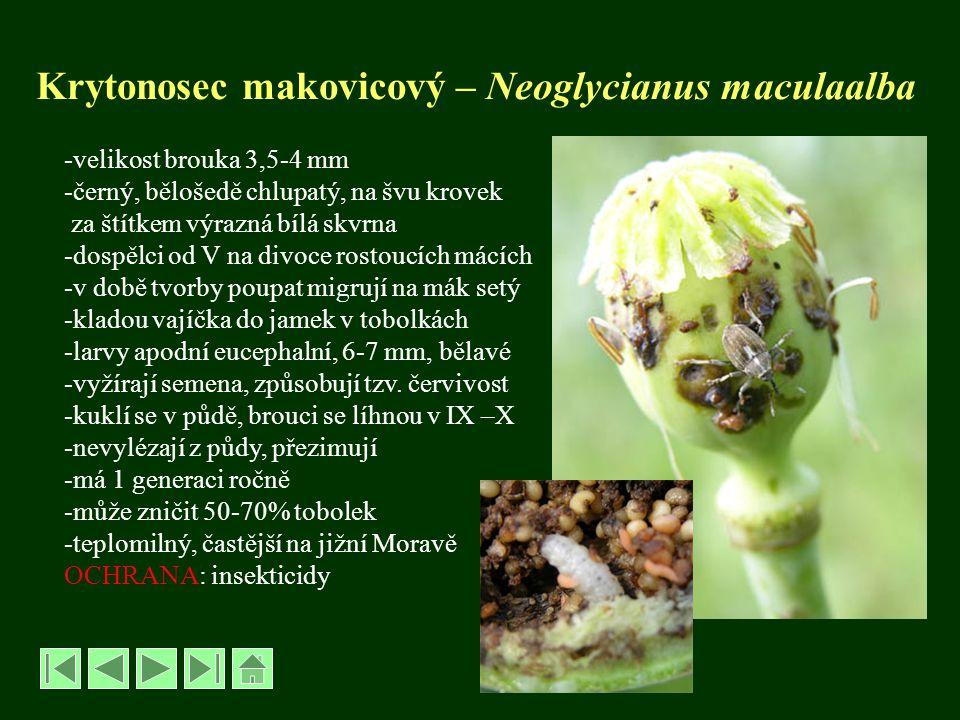 Krytonosec makovicový – Neoglycianus maculaalba -velikost brouka 3,5-4 mm -černý, bělošedě chlupatý, na švu krovek za štítkem výrazná bílá skvrna -dos