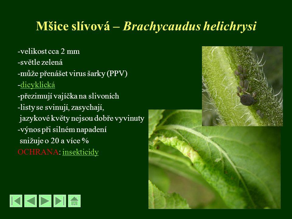 Mšice slívová – Brachycaudus helichrysi -velikost cca 2 mm -světle zelená -může přenášet virus šarky (PPV) -dicyklickádicyklická -přezimují vajíčka na