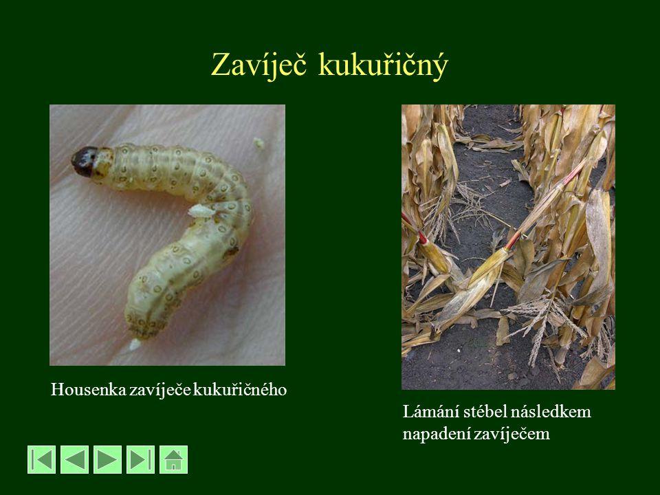 Zavíječ slunečnicový – Homeosoma nebulellum -rozpětí křídel 18-22 mm -zbarvení béžové až okrové -přezimují housenky v půdě, na jaře se kuklí -motýli se líhnou v době květu slunečnice -samičky kladou vajíčka po jednom k prašníkům -housenky 1.