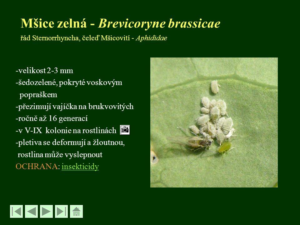 Mšice zelná - Brevicoryne brassicae řád Sternorrhyncha, čeleď Mšicovití - Aphididae -velikost 2-3 mm -šedozelené, pokryté voskovým popraškem -přezimuj