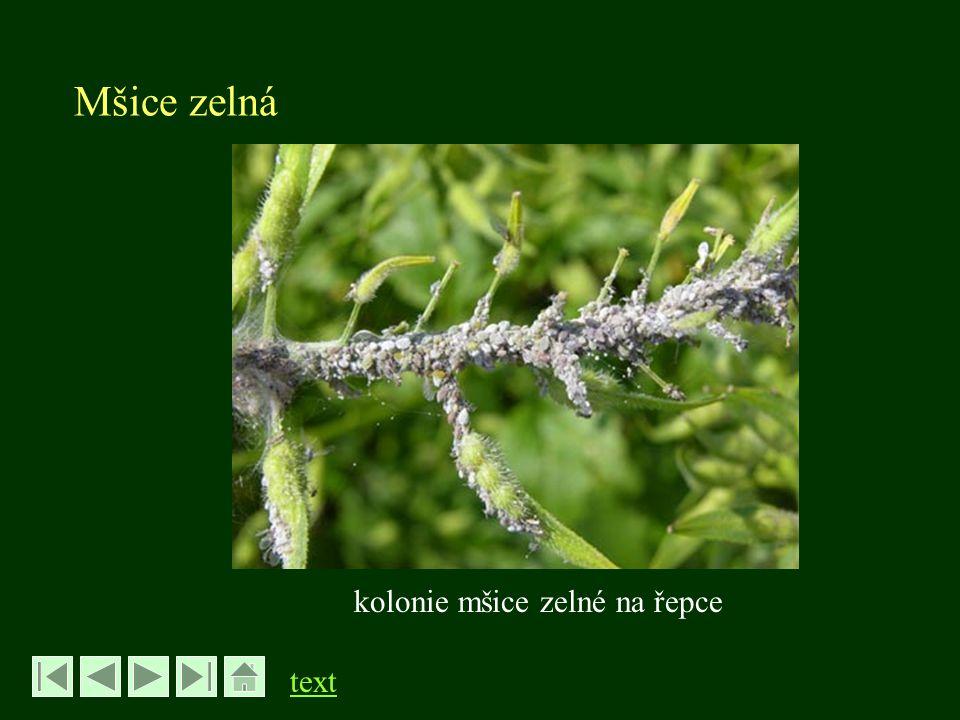 Dřepčík polní - Phyllotreta undulata řád Brouci – Coleoptera, čeleď Mandelinkovití - Chrysomelidae -brouk velký 4-5 mm - černý s 2 podélnými žlutými proužky na krovkách - skákavé zadní nohy - v porostu od dubna -vykusují 1-2 mm otvory do listů - kladou vajíčka počátkem léta na půdu -larvy se živí kořínky, nepůsobí významné škody, kuklí se v půdě v kolébce -brouci se líhnou koncem léta a přezimují -nejvíce škodí brouci na klíčních a mladých rostlinách zejm.