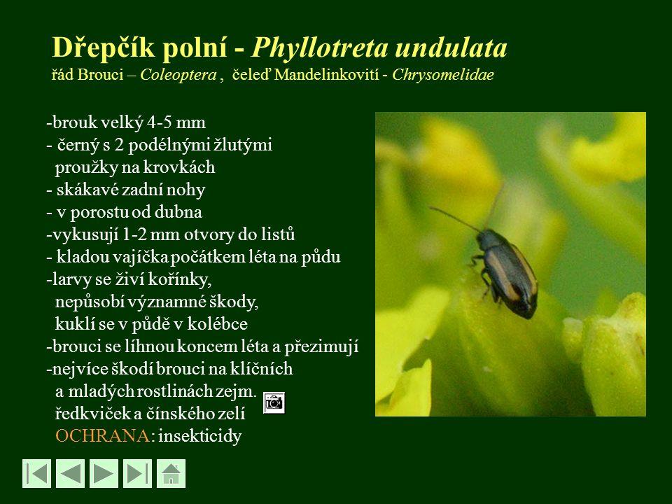 Dřepčík zelný - P.nemorum -velikost brouka 3-4 mm -dospělci podobní d.