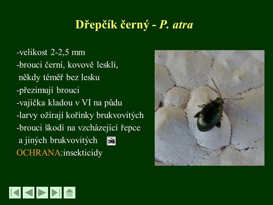 Dřepčík černý - P. atra -velikost 2-2,5 mm -brouci černí, kovově lesklí, někdy téměř bez lesku -přezimují brouci -vajíčka kladou v VI na půdu -larvy o