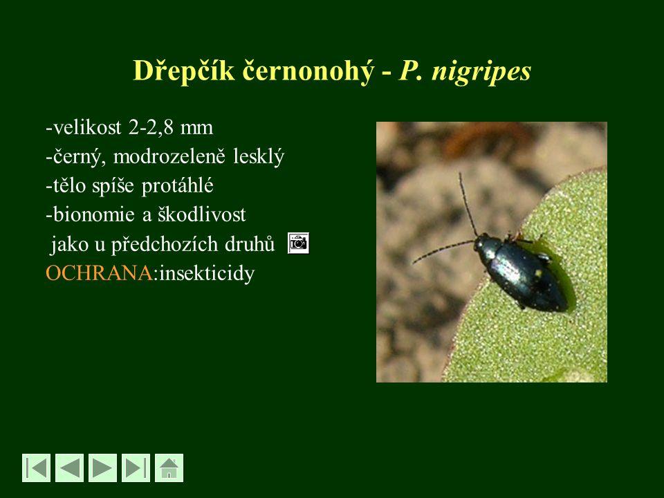 Dřepčík olejkový – Psylliodes chrysocephala -velikost brouků 3-4,5 mm -černí, modře nebo zeleně kovově lesklí -hlava a tykadla rezavé, nohy červenavé -larva oligopodní, dlouhá 7-8 mm, bíláoligopodní -přezimují všechna vývojová stadia -samičky kladou vajíčka k rostlinám -larvy se vžírají do řapíků srdéčkových listů, kořenového krčku a do lodyhy -dospělci dírkují listy -škodlivý je žír larev na jaře a na podzim -poškozené rostliny zahnívají, vymrzají OCHRANA: moření osiva, insekticidy