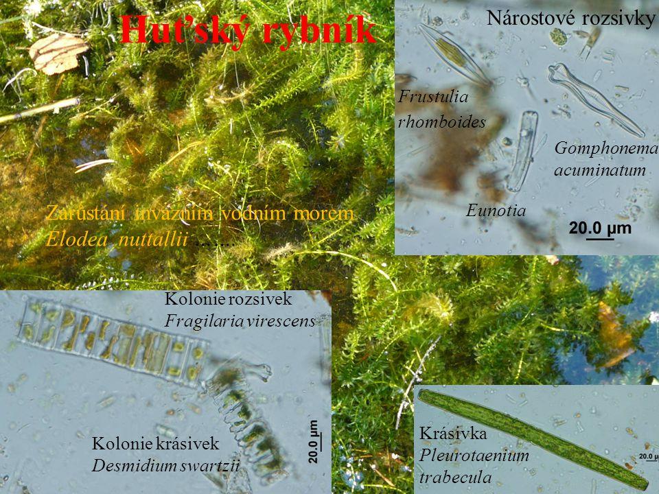 Huťský rybník – litorál zarůstající přesličkami Equisetum fluviatile s nárosty zelených vláknitých řas řádu Oedogonioales - čapkoblankovité Rod Bulbochaete má rozvětvené stélky a chlupy s cibulovitým násadcem Oedogonium (čapkoblanka) - přírůstkové prstence