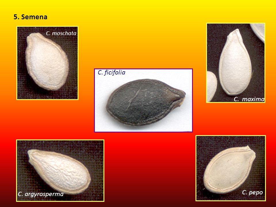 5. Semena C. moschata C. maxima C. ficifolia C. argyrosperma C. pepo